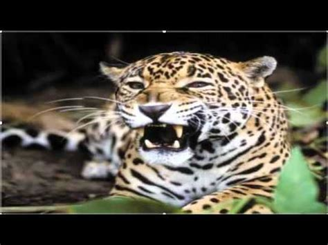 Los animales de la selva   YouTube