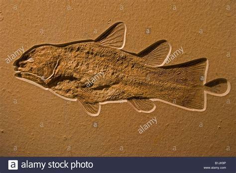 Los celacantos fósiles,  Alemania  Jurásico Superior Foto ...