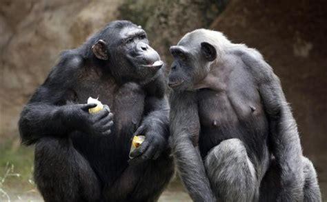 Los chimpancés alertan a sus amigos cuando perciben peligros