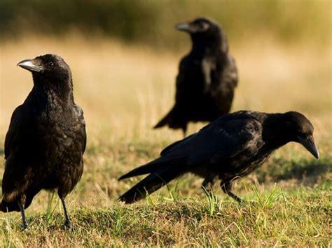 Los cuervos, como nosotros, guardan sus herramientas ...