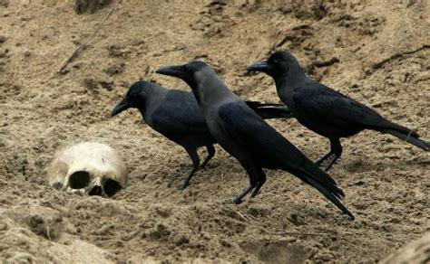 Los cuervos pueden planear con anticipación, como los ...