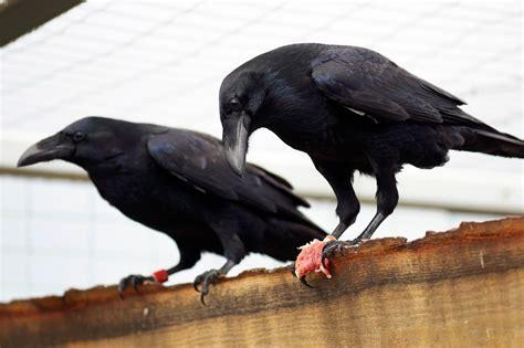 Los cuervos son tan inteligentes como los chimpancés