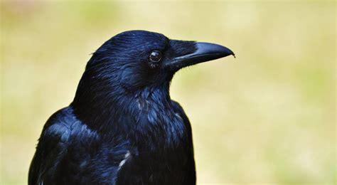 Los cuervos tienen consciencia primaria   ¡No sabes nada!