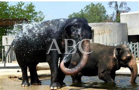 Los elefantes se acaloran   ABC.es