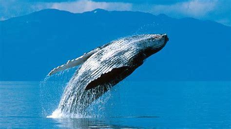 Los enormes tapones de cera de los oídos de las ballenas ...