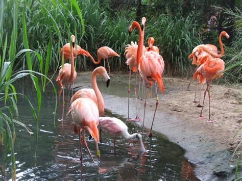 Los flamencos y su santuario en La Guajira – Opinion Caribe