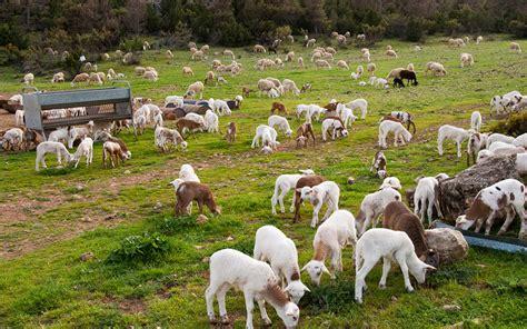 Los ganaderos de ovino y caprino cobrarán el tope de ...