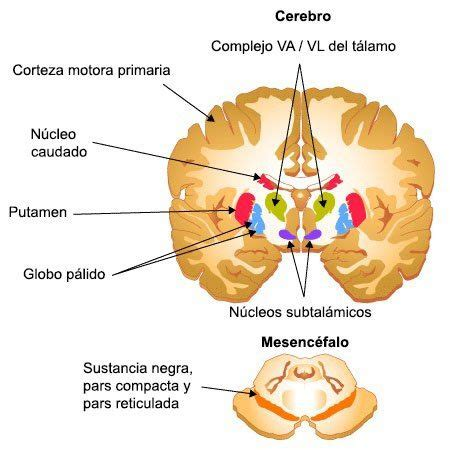 Los ganglios basales son un conjunto de núcleos ...