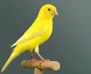 Los mejores canarios