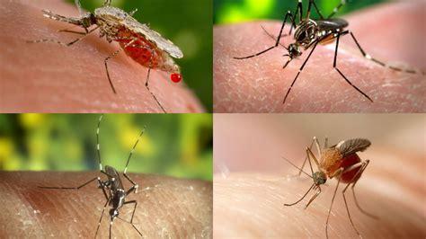 ¿Los mosquitos pueden transmitir el coronavirus ...