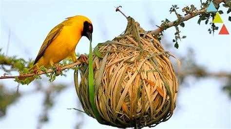 Los nidos más asombrosos del mundo animal   YouTube