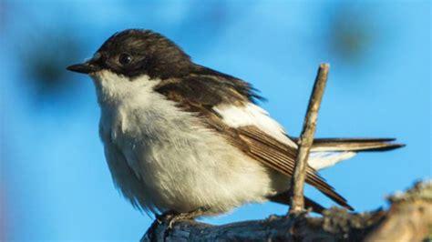 Los pájaros que vuelan hasta 60 horas seguidas para cruzar ...