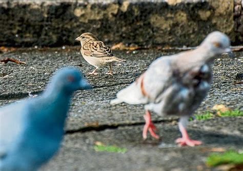 Los pájaros 'urbanitas' se desgañitan