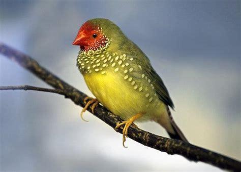 Los pájaros tropicales más pequeños