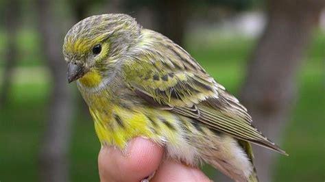 Los pájaros urbanos cantan más para compensar el ruido ...