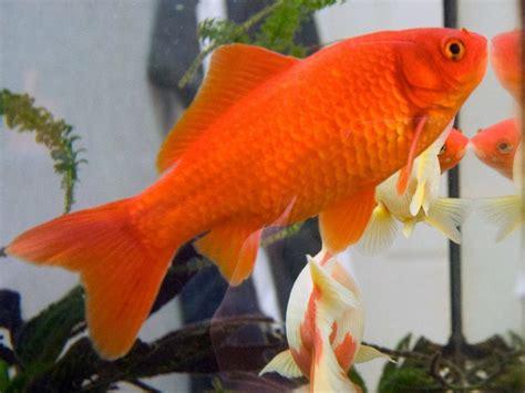 Los peces de agua fría   Mascotas