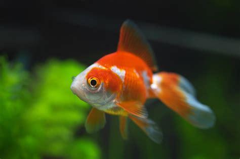 Los peces ideales para tu acuario   Mascotalia