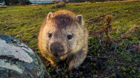 Los wombats han alojado animales en sus madrigueras en ...