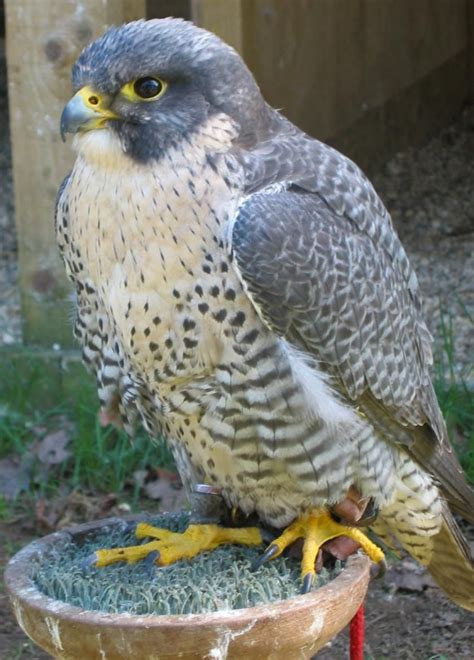 Louisiana Birds of Prey Identification | Birds of Prey ...
