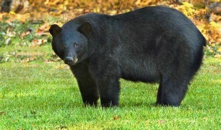 Louisiana black bear | U.S. Fish & Wildlife Service