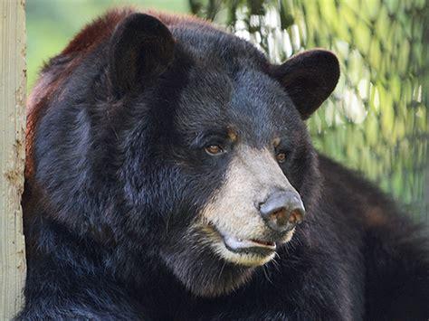 Louisiana Black Bear | Zoo