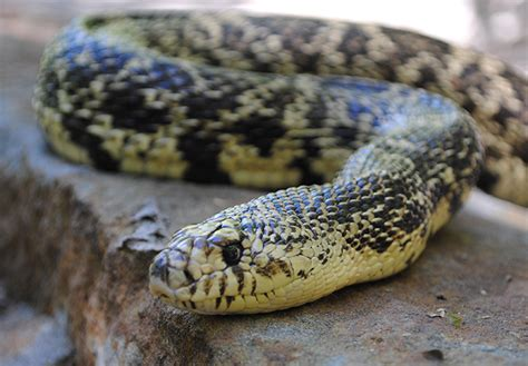 Louisiana Pine Snake | Alexandria Zoo