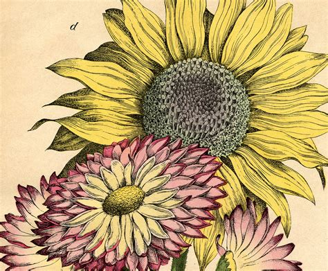Lovely Vintage Sunflower Printable!   The Graphics Fairy