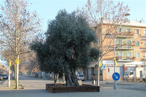 L'Ajuntament de les Franqueses no acceptarà més oliveres ...