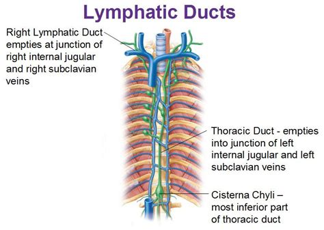 lymphatic ducts, thoracic duct, cisterna chyli ...