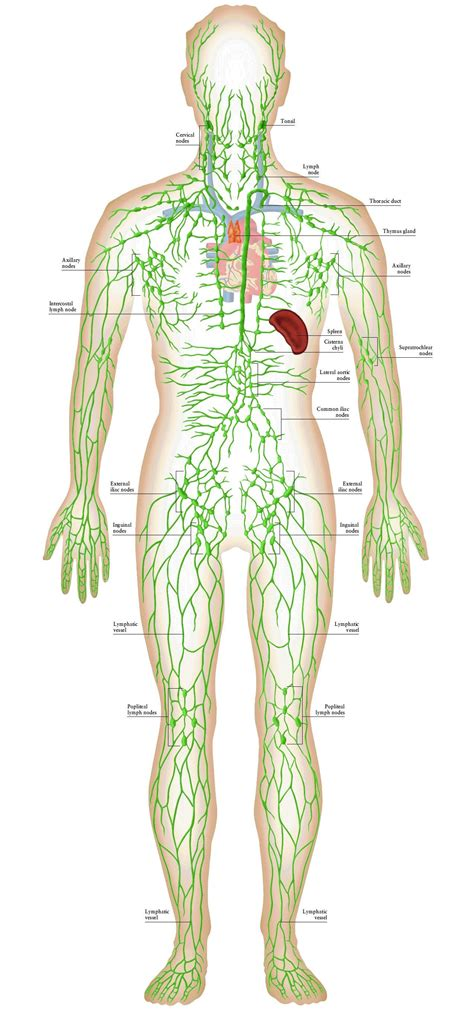 Lymphatic System   great illustration | DLM | Sistema ...