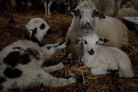 Madrid lanzará ayudas para ganaderos de corderos y cabritos