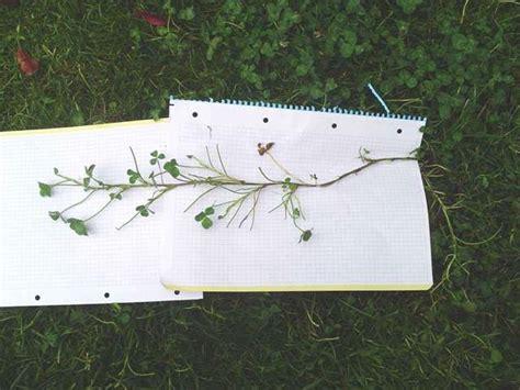 Mala hierba de hoja ancha en césped: foto y solución