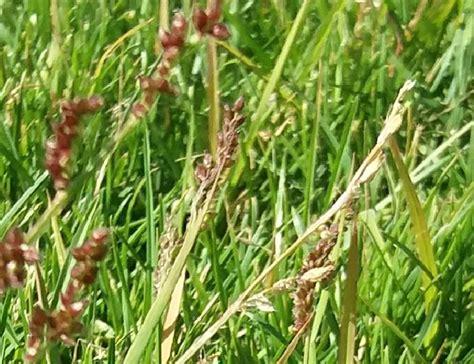 Mala hierba hoja estrecha