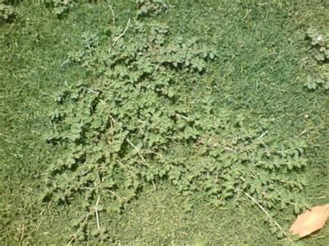 Mala hierba por identificar en mi césped