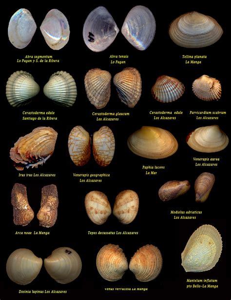 MALACOLOGÍA MEDITERRÁNEA: Malacología del Mar Menor