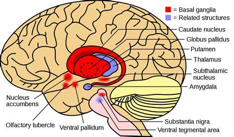 Maladie des noyaux gris centraux   Basal ganglia disease ...