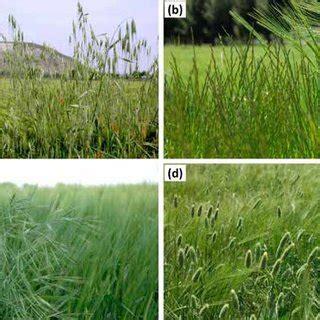 Malas hierbas de hoja ancha en cereales de invierno ...
