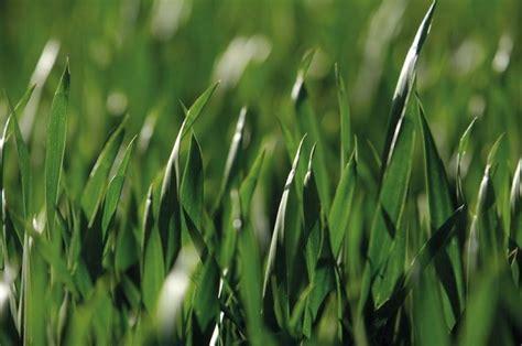 Malas hierbas de hoja estrecha: cuáles son y cómo ...