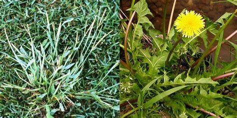 Malas hierbas del césped en verano. Opciones de Control ...