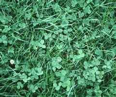 Malas hierbas del cesped y su control