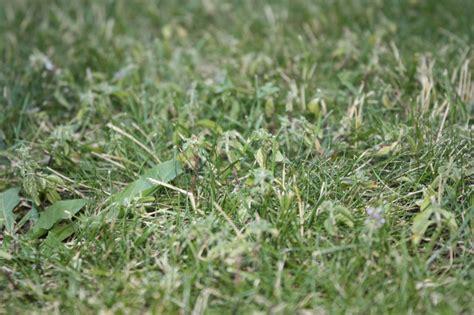 Malas hierbas en césped