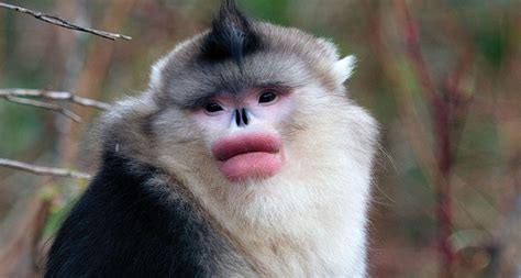 Male monkeys go rouge for mating season | Science News