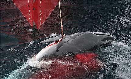 Maltrato a las ballenas