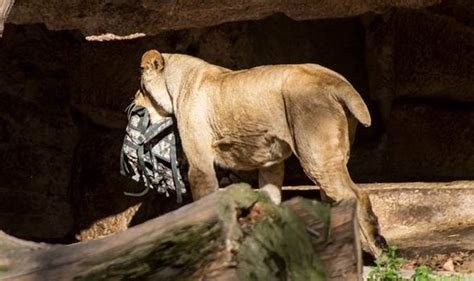 Man mauled by lions in Barcelona zoo enclosure revealed to ...