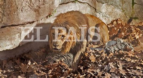 Man who jumped into Barcelona Zoo lion enclosure remains ...
