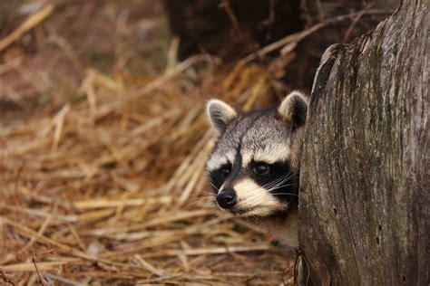 Mapache: características, comportamiento y hábitat   Mis ...