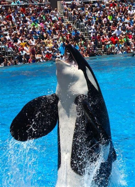 Mar ballena orca shamu orcinus asesino mundo | Foto Gratis