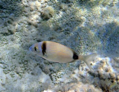 mar menor mar mayor: Diplodus vulgaris. Mojarra