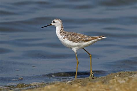 Marsh sandpiper tringa stagnatilis aves costeras de ...