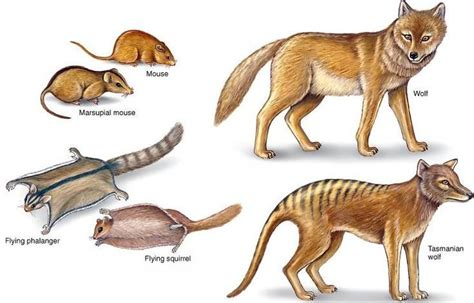 marsupial lower classifications   Evolution and design  2 ...